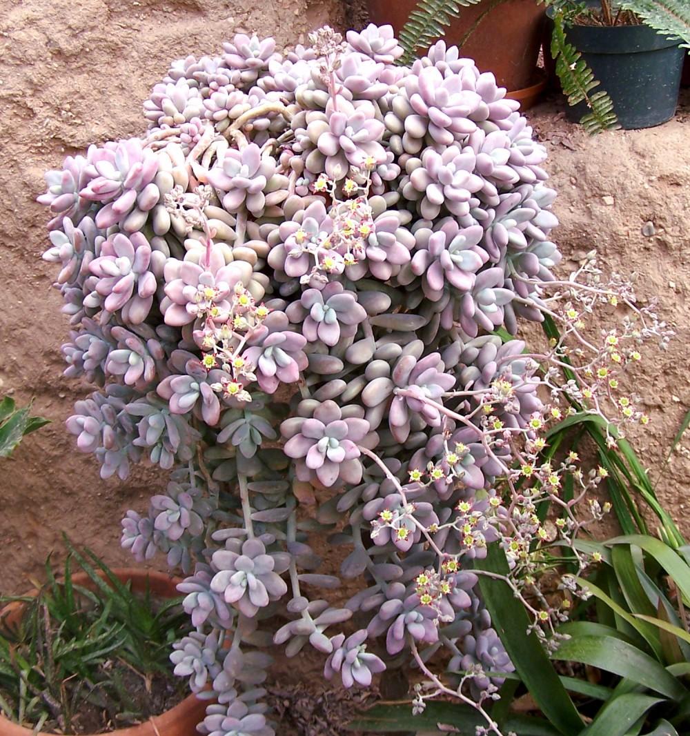 Pachyphytum Oviferum Amethystinum